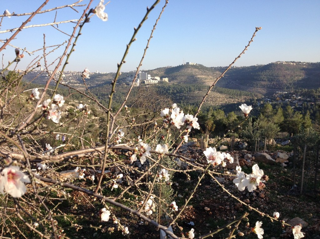 Almond Blossoms Sataf
